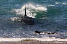 CET_1201 - Orque / Killer Whale / Orcinus Orca _ Punta Norte, Patagonia Chubut, Argentine