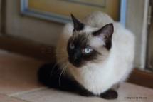 CHA_0494 - Siamois / Felis silvestris catus / Siamese catParis, Île de France, France