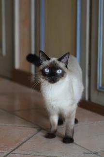 CHA_0500 - Siamois / Felis silvestris catus / Siamese catParis, Île de France, France