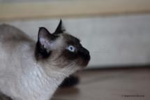 CHA_0509 - Siamois / Felis silvestris catus / Siamese catParis, Île de France, France
