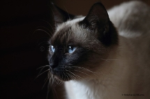 CHA_0525 - Siamois / Felis silvestris catus / Siamese catParis, Île de France, France
