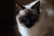 CHA_0526 - Siamois / Felis silvestris catus / Siamese catParis, Île de France, France