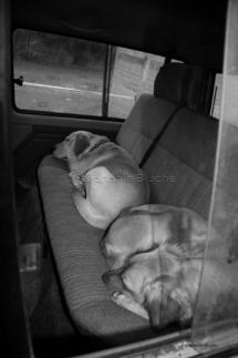 CHI_0194 - Chien / dog / canis lupus familiarisMéounes, Var, France