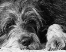 CHI_0230 - Chien / dog / canis lupus familiarisToulon, Var, France