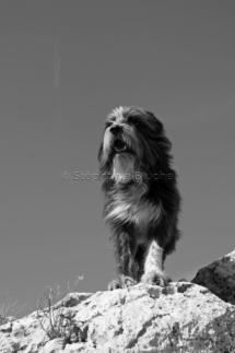 CHI_0248 - Chien / dog / canis lupus familiarisToulon, Var, France