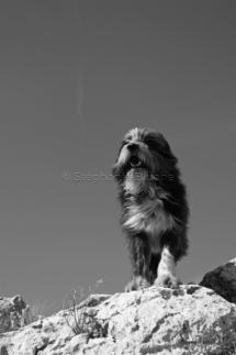 CHI_0250 - Chien / dog / canis lupus familiarisToulon, Var, France